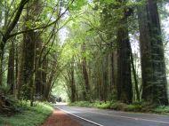 Avenue of the Giants near Eureka, California