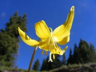 The Glacier Lily goes by many names