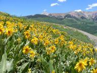 Wildflowers in the Elk Mountains