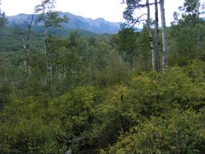 The north side of the West Elk Mountains are an aspen jungle