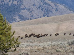 Bison on the Northern Range of Yellowstone National Park