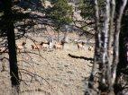 The white elk lives!