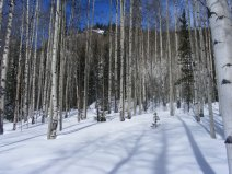 Silent during winter's chill, these aspen nonetheless photosynthesize through their bark
