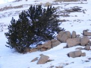 This bristlecone pine sits just west of the Great Divide