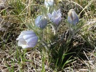 A sure sign of spring... Pasqueflower or Pulsatilla Patens