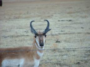 Pronghorn on the prairie near Cimarron, New Mexico