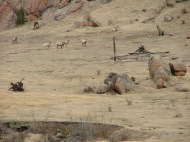 Bighorn Sheep make this area there home
