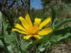 A close-up of Arrowleaf Balsam-root, Balsamorhiza sagittat. A member of the Aster Family, Asteraceae.
