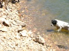 Lucky Dog engages the water. A brave feat for a dog who was originally scared of water