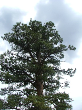 One of my favorite individuals of Ponderosa Pine