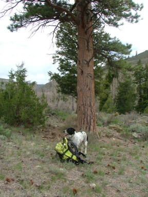 Lucky Dog observes the goings-on under a favorite ponderosa (Pinus ponderosa)