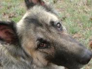 Sheba, an intelligent German Shepherd