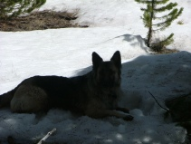 Sheba resting in the snow at the summit between Indian and East Middle Creeks