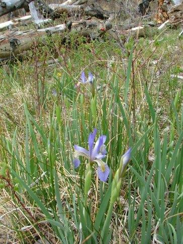 Iris missourianis in a grassy meadwo