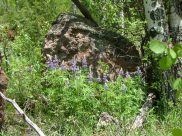 Lupine growing on a hillside