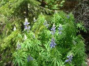 These lupine will cheer up anyone's countenance
