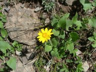 Arnica, part of the Aster Family (Asteraceae)