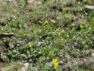 A field of Arnica