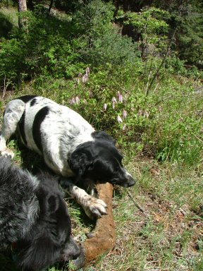 Lucky Dog gnawing on the lower leg joint of a long deceased elk
