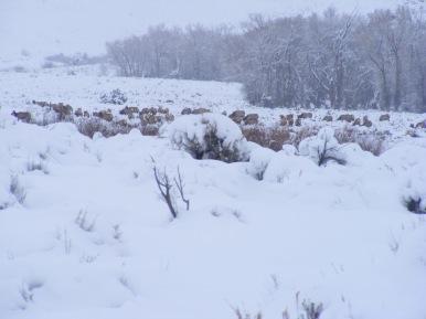 Elk in the snow, Cabin Creek