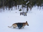 At the Lamphier Creek trailhead, Draco the German shepherd dog cruises through the deep snow exploring by scent predominantly
