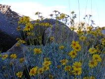 A desert species of Asteraceae