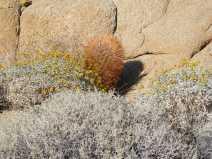A desert Asteraceae and a barrel cactus