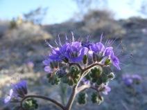 A desert member of the Boraginaceae?