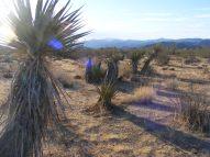 Yuccas abound in the high desert