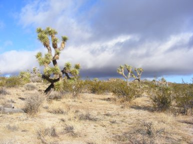 Joshua Trees along the California Riding and Hiking Trail between Geology Board and Twin Tanks
