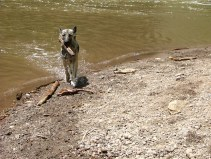Sheba just after retrieving a stick from the reservoir