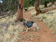 On the steep climb to Bison Pass in the Lost Creek Wilderness, Sheba and Lady Dog. A nice ponderosa forest in this area