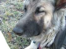 Sheba resting on our trek through the Lost Creek Wilderness