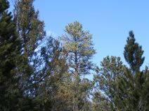 This ponderosa towers over the surrounding pinon