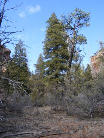 Ponderosa in the right fork canyon