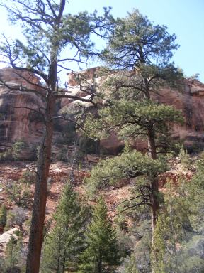 Towering trees and red sandstone