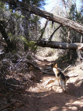 Draco in the right fork canyon