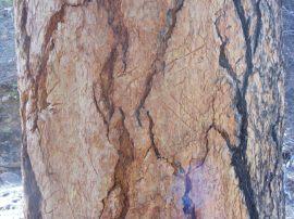 Claw marks on lofty dominant ponderosa