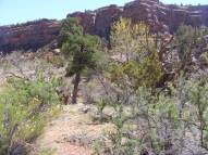 This hardy ponderosa is the lowest in elevation of them all. At the confluence with the Dry Fork