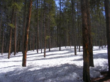 Deep snow in the lodgepole forest