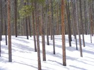 Lodgepoles in the deep snow