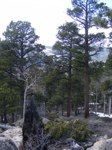 Rocky Mountain forest in spring time, on the western slope of the Great Divide, below Old Monarch Pass