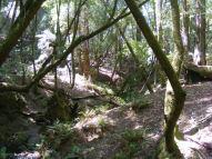 Oaks near Schoolhouse Creek