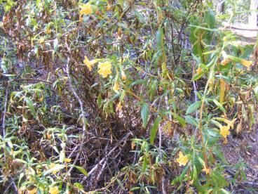 Larger shrub with orange flowers