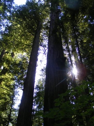 Sun shining through the redwood canopy