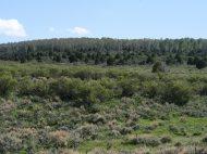 Large aspen grove on the north side of Stuntz Ridge