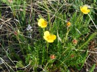 What I think is a species of avens