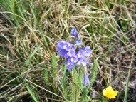 Polemonium, or more commonly known as sky pilot, a member of the Phlox (Polemoniaceae) Family