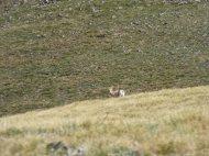 Bighorn sheep under Fossil Mountain