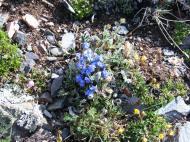 Forget-me-nots, perhaps Eritrichum nanum - regardless on the correctness of species identification, a member of the Borage (Boraginaceae) Family
